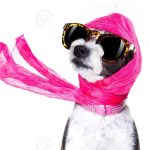 chic fashionable diva luxury  cool dog with funny sunglasses, scarf and necklace, isolated on white background